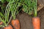 carotte-de-creance-3