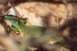 lezard-vert