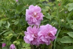 roses  (6)_01