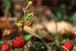 fraise-des-bois