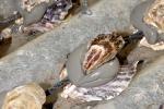 huitre-de-bouzigues-2