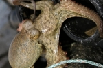 poulpe de roche  (1)