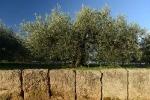 olivettes-7