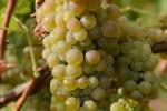 raisin-blanc-2