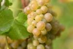 raisin-blanc-6