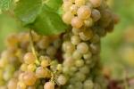 raisin-blanc-7
