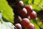 raisins-noirs-1