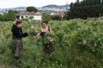 recolte de roses  (2)_01