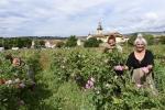 recolte roses sandy et pauline _01