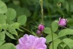 roses  (5)_01