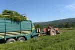 recolte sarriette Vaucluse chez Justamon  (3)_01