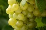 raisin-blanc-10