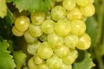 raisin-blanc-9