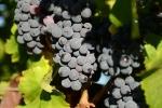 raisin-noir-13