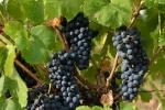 raisin-noir-2