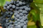 raisin-noir-3_0