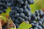 raisin-noir-4